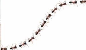 Faça como as formigas, mas com cautela